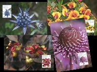 Australia - Wild flowers - Set of Maxi Cards