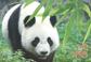 Holland - Panda bjørne - Miniark 2v og 3 postkort