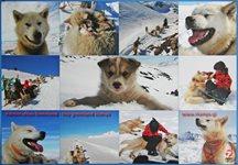 Plakat: Slædehunde