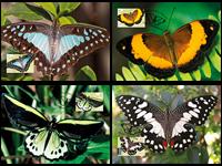 Australia - Butterflies - Nice set of maxi cards