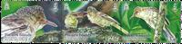 Îles Pitcairn - Oiseaux / Paruline rouge - Timbre neuf